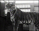 Main image of Topical Budget 701-2: Tiger Tim (1925)