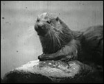 Main image of Otter Study, An (1912)