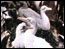 Thumbnail image of KS3 Science: Glimpses of Bird Life (1910)