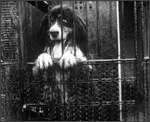 Main image of Topical Budget 151-2: Dogs for the Antarctic (1914)