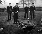 Main image of Topical Budget 278-2: Turkeys for H.M.S. Lion (1916)