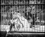 Main image of Feeding the Tigers (1899)